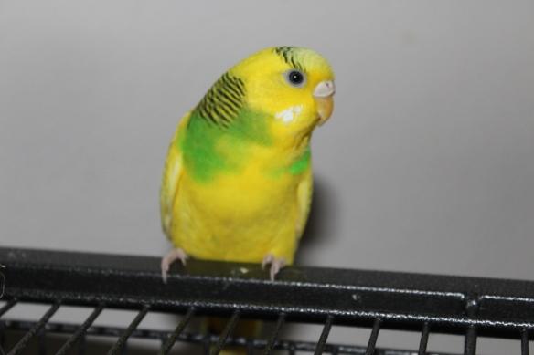 Milo, the parakeet